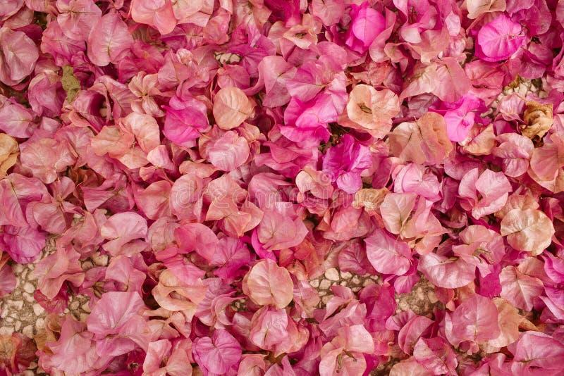 九重葛花背景  作为纹理和背景的小的桃红色瓣 蝴蝶下落花卉花重点模式黄色 库存照片