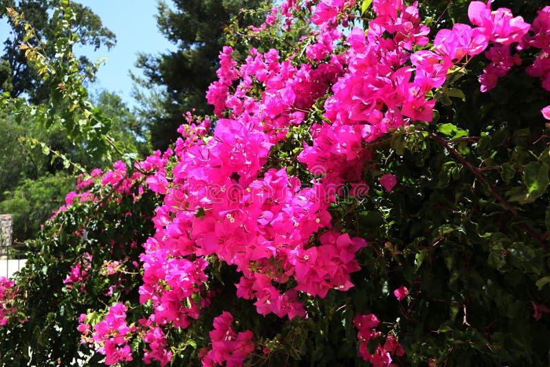九重葛花 在开花的桃红色灌木 库存照片