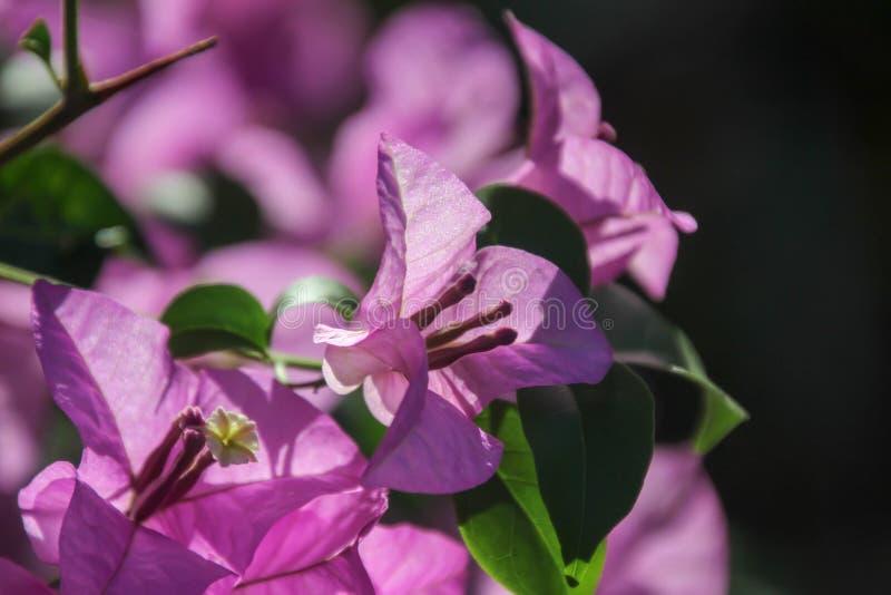 九重葛这是一个四季不断的灌木类型 从丛生的小灌木的大小 刺在树干,叶子分裂增长, 库存图片