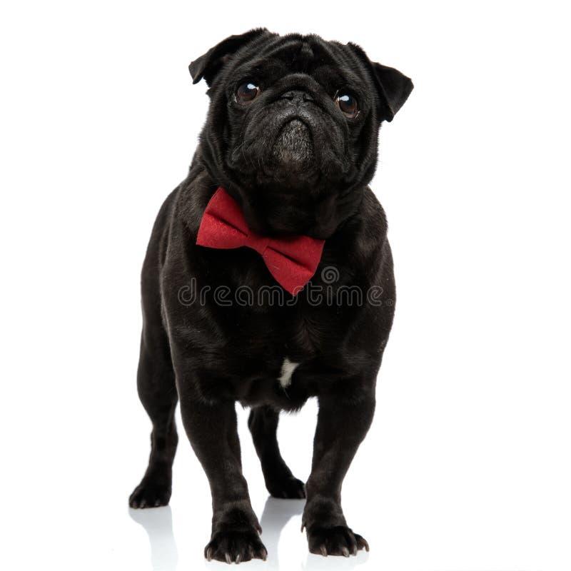 乞求可爱的哈巴狗今后看和 免版税库存图片