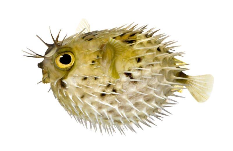 也作为balloo知道多刺长的刺顿鱼的脊椎 免版税库存照片