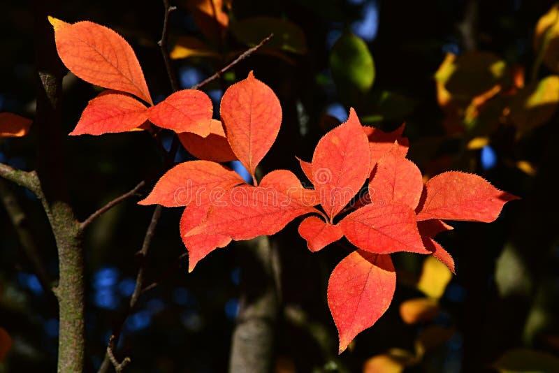 也称东方光叶石楠的圣诞节莓果明亮的红色秋天叶子,拉丁名字光叶石楠图片