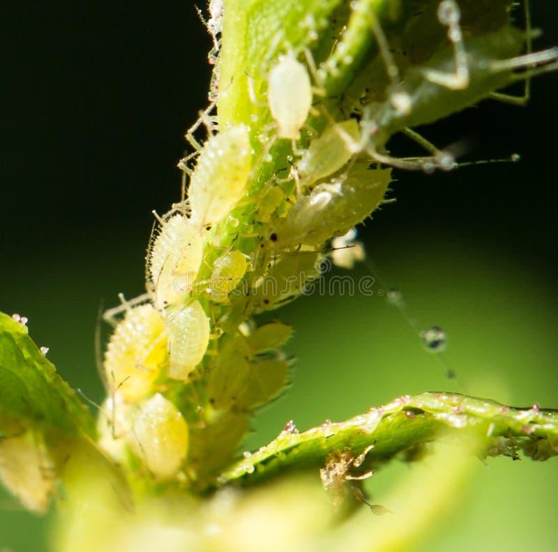 也蚜虫aphidoidea蚜虫,因为黑蝇英国联邦培养了破坏性的绿色蚜虫大批出没昆虫昆虫已知的虱子成员多数虫工厂种植地区树汁小的吮的总科温和粉虱 库存照片