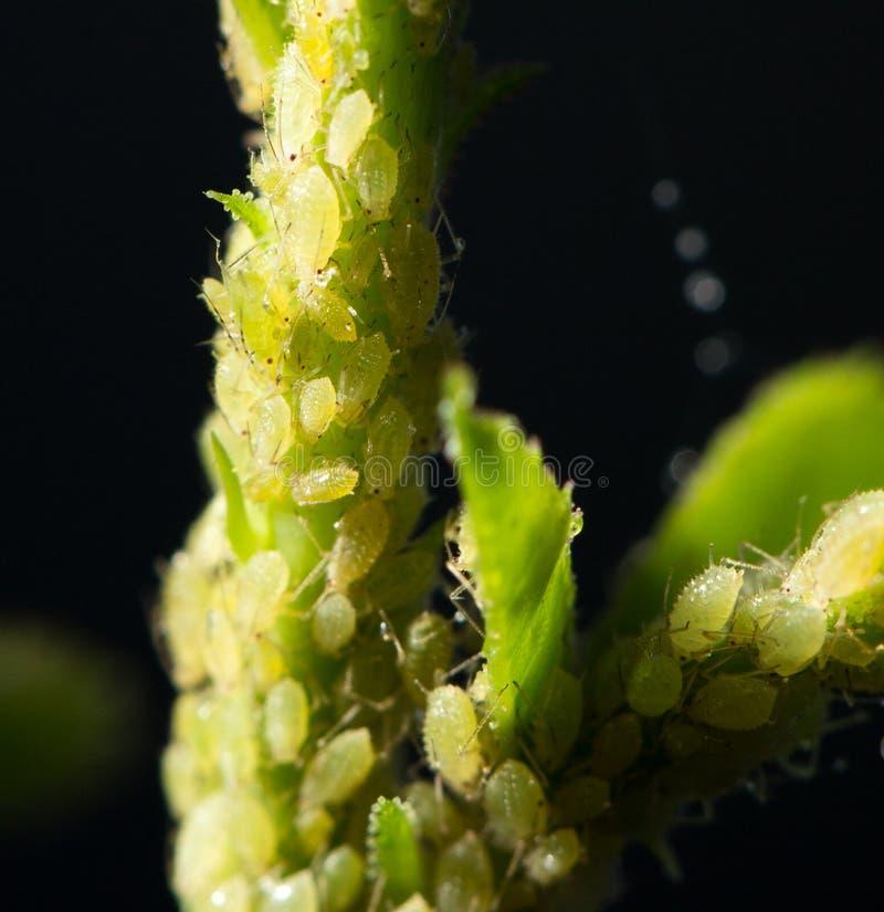 也蚜虫aphidoidea蚜虫,因为黑蝇英国联邦培养了破坏性的绿色蚜虫大批出没昆虫昆虫已知的虱子成员多数虫工厂种植地区树汁小的吮的总科温和粉虱 库存图片