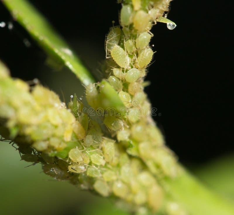 也蚜虫aphidoidea蚜虫,因为黑蝇英国联邦培养了破坏性的绿色蚜虫大批出没昆虫昆虫已知的虱子成员多数虫工厂种植地区树汁小的吮的总科温和粉虱 免版税图库摄影