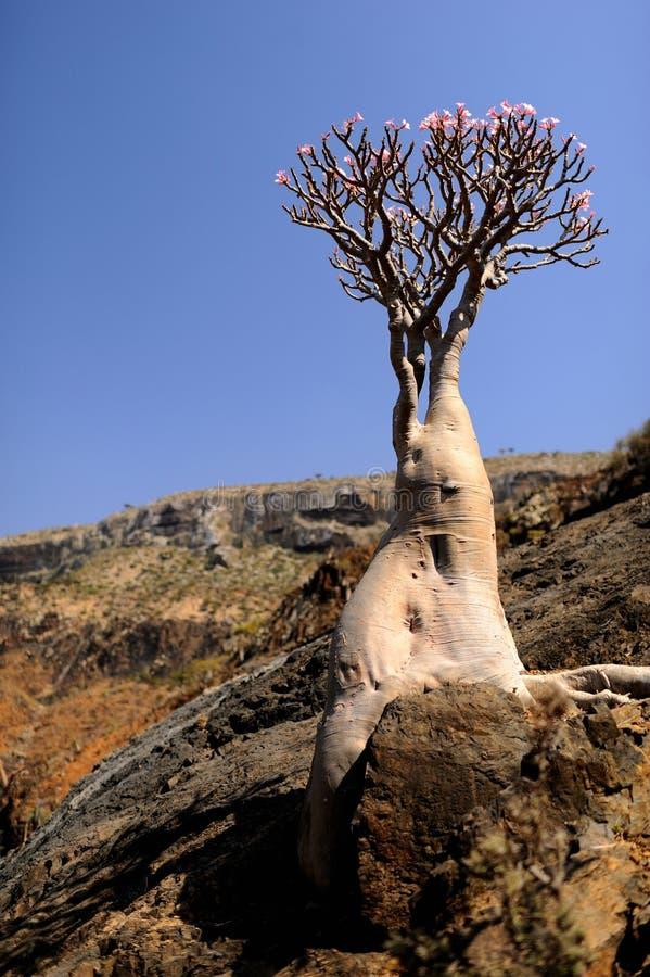 也门。 索科特拉岛。 瓶树 库存照片