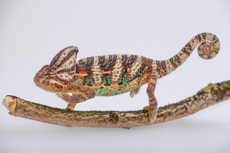 也门变色蜥蜴 免版税图库摄影