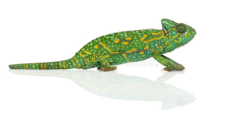 也门变色蜥蜴- Chamaeleo calyptratus - 免版税库存照片