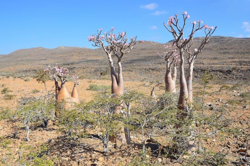 也门,在峡谷Kalesan,在索科特拉岛上的瓶树上的高原 免版税库存图片