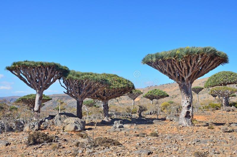 也门,索科特拉岛,在Diksam高原的龙血树 库存照片