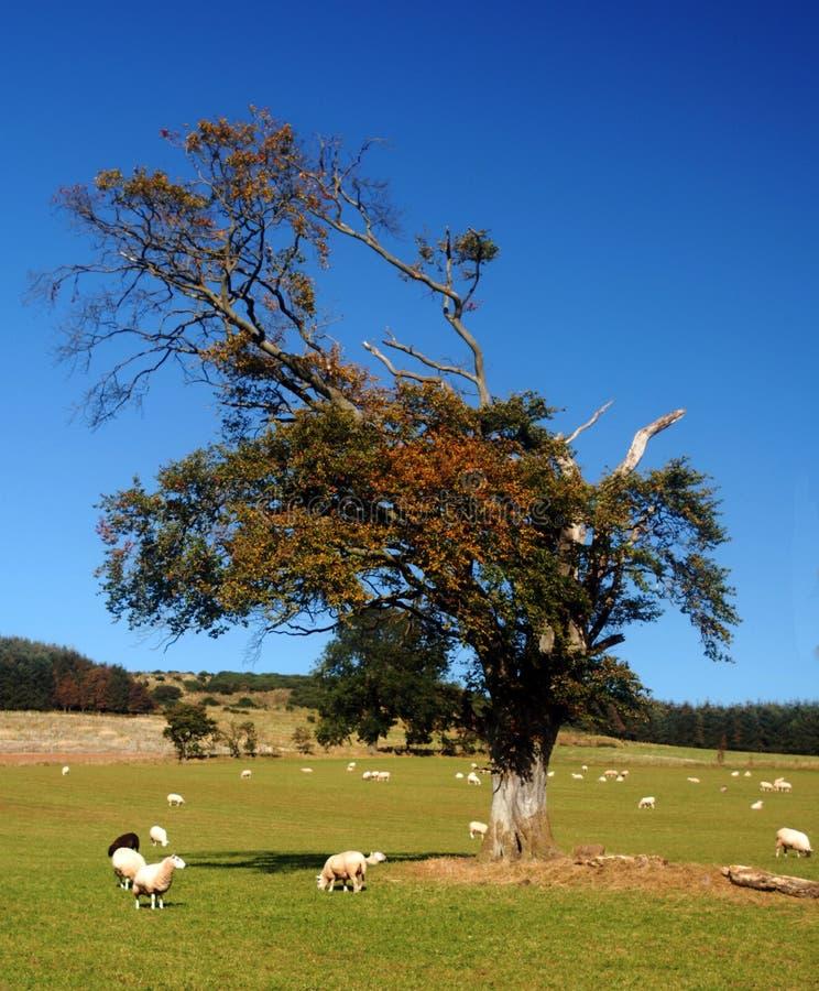 乡下产小羊春天 免版税库存图片