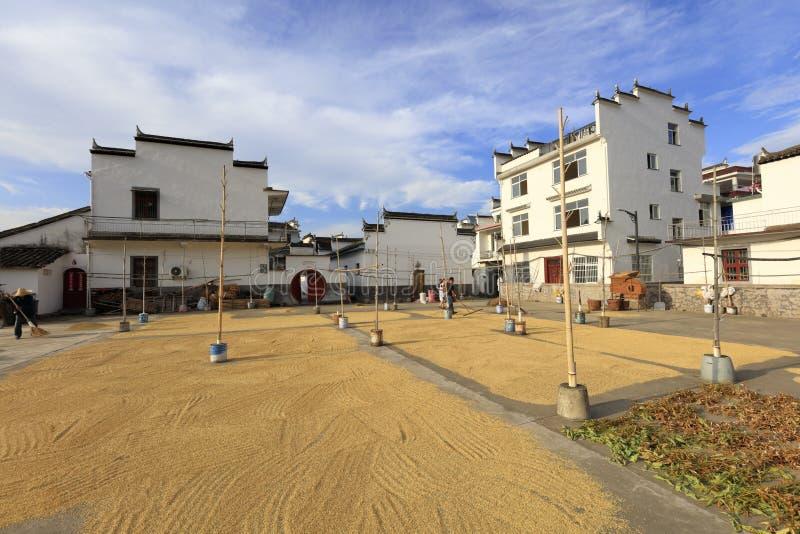 乡下人烘干最近被收获的米,多孔黏土rgb 免版税图库摄影