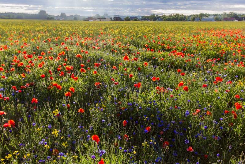 乡下和开花的鸦片领域 免版税库存图片