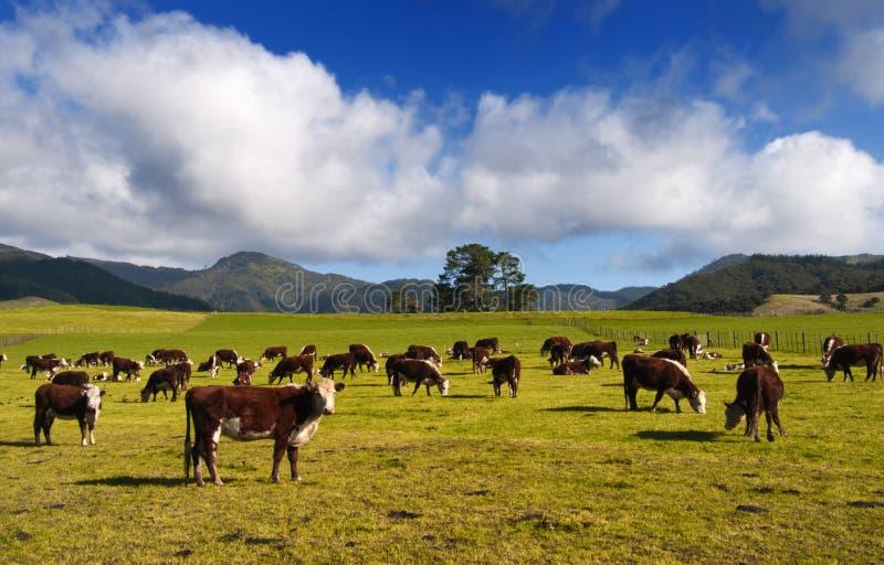 乡下新西兰 库存图片