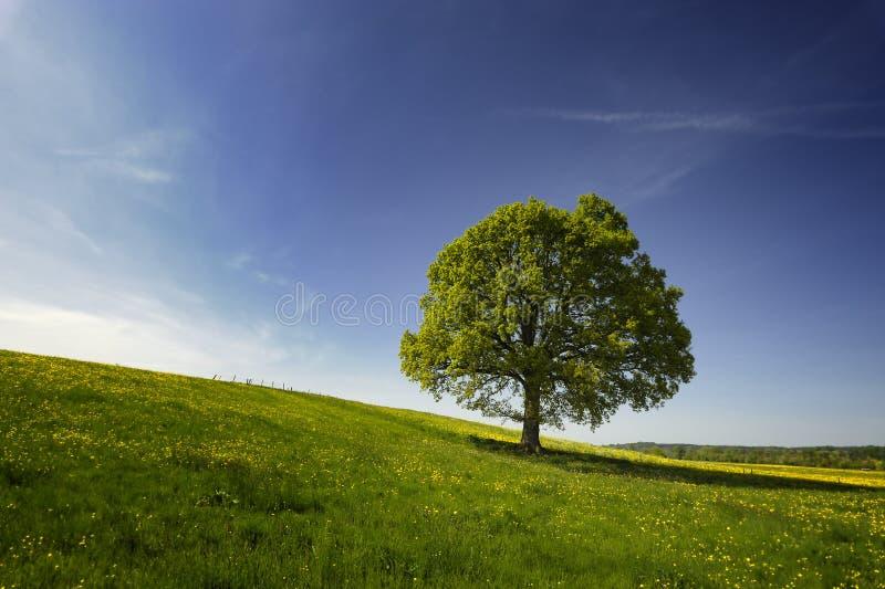 乡下橡树 免版税库存图片