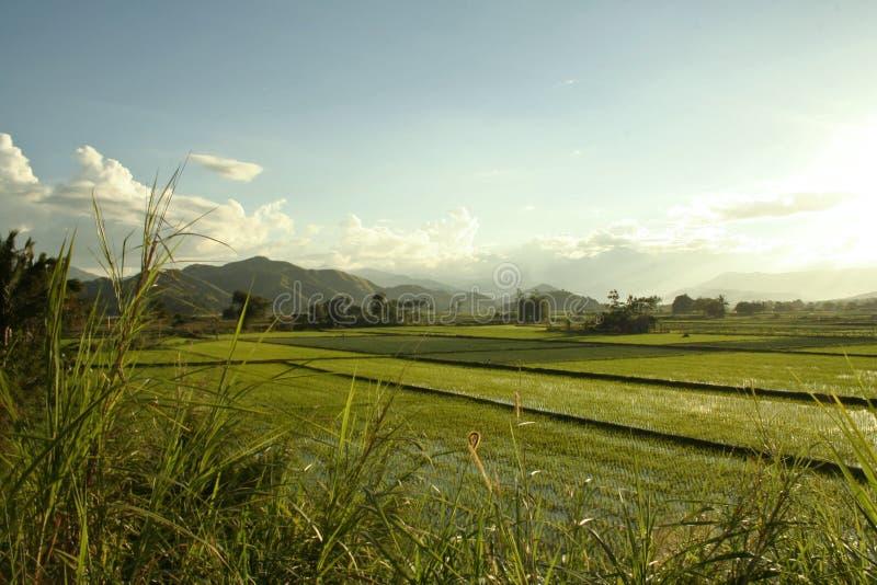 乡下绿色稻菲律宾米 免版税库存图片