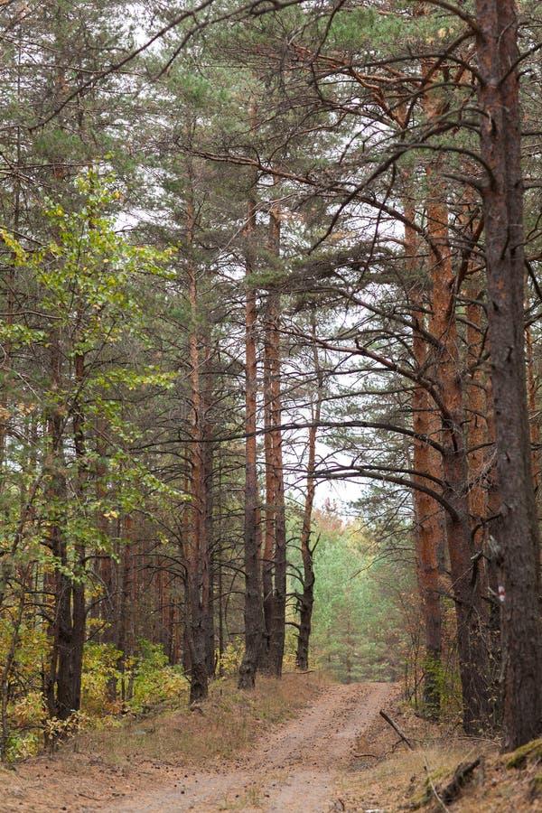 乡下路在杉木森林里秋天 库存图片