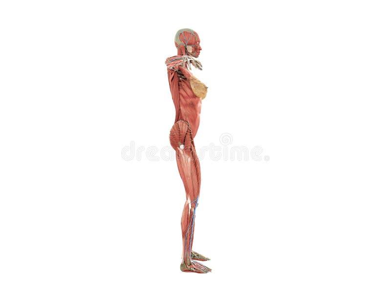 书3d图象的女性身体解剖学在白色没有阴影 皇族释放例证
