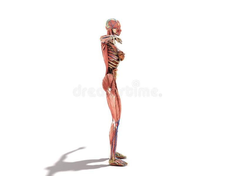 书3d ilustration的女性身体解剖学在白色 向量例证
