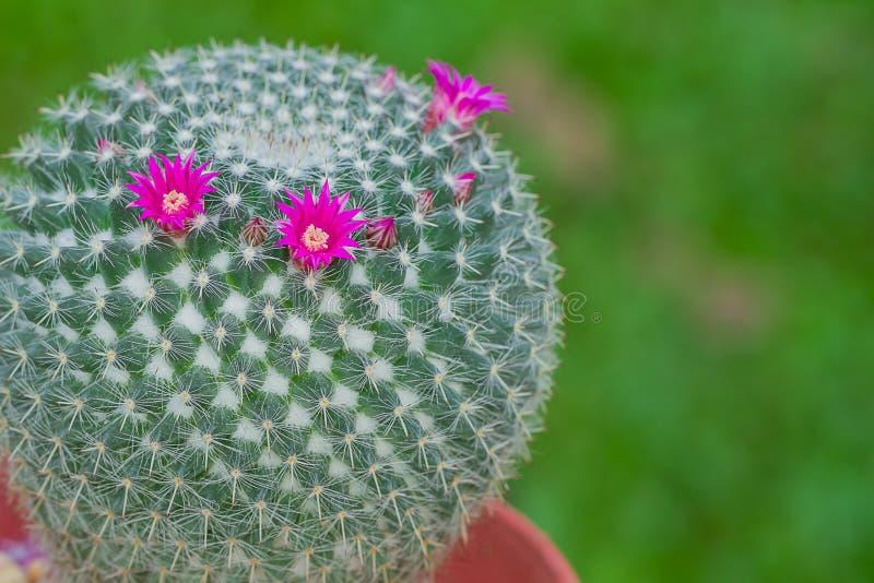 乳头仙人掌花有绿色背景 库存照片