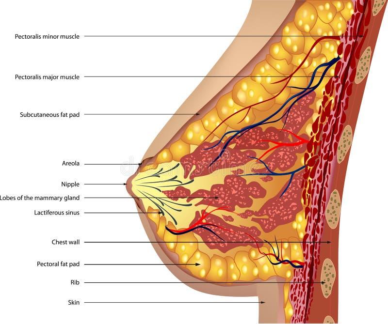 乳房的解剖学。 向量 库存例证