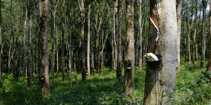 乳汁生产者橡胶树 免版税库存图片