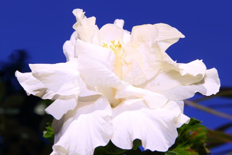 乳白色木槿或gumamela花 免版税图库摄影
