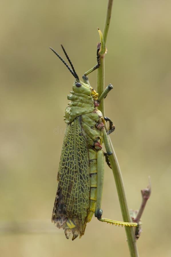 乳草蝗虫, Phymateus spec 库存照片