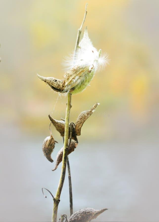 乳草Seedpods成熟;晚夏 免版税库存图片