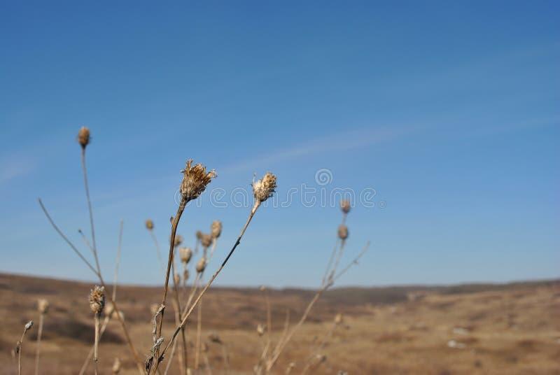 乳蓟去年的被风化的干燥花、秋天天空和草背景 免版税库存照片