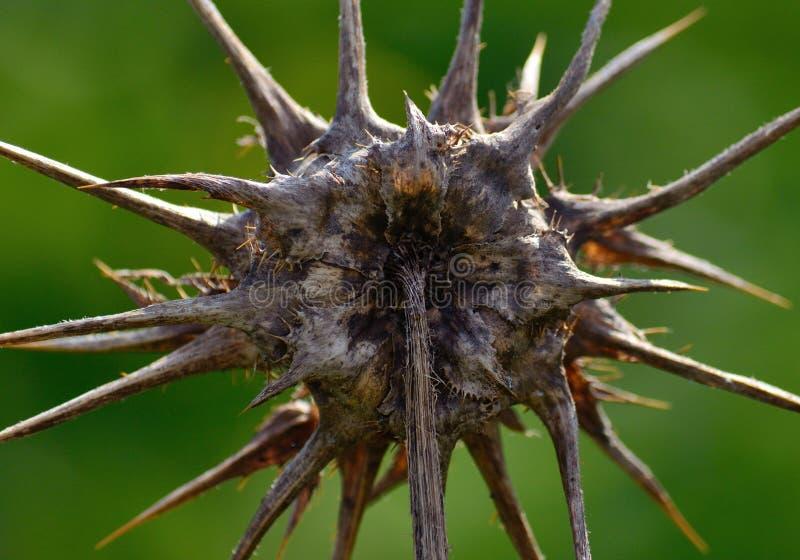 乳蓟干燥花  库存图片
