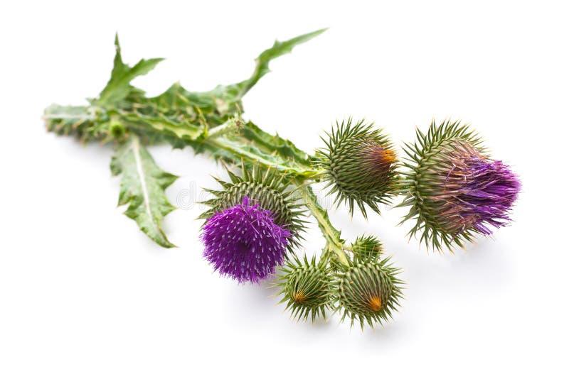 乳蓟植物 库存图片