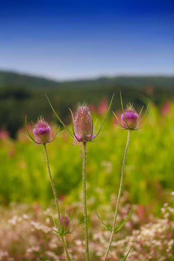 乳蓟 Flowerhead 开花植物 库存照片