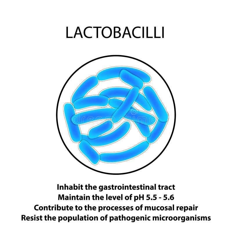 乳酸杆菌属的结构和作用 Infographics 在被隔绝的背景的传染媒介例证 库存例证