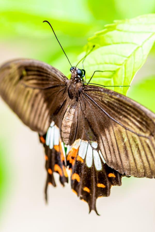了不起的摩门教徒,Papilio memnon蝴蝶宏指令 库存照片