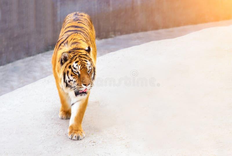 了不起的老虎男性在自然栖所 老虎步行在金黄光时 与危险动物的野生生物场面 免版税库存图片