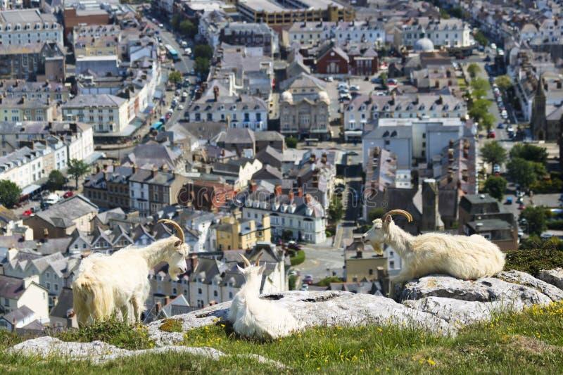 了不起的Orme山羊上流三重奏在兰迪德诺,威尔士,GB,英国上的 库存图片