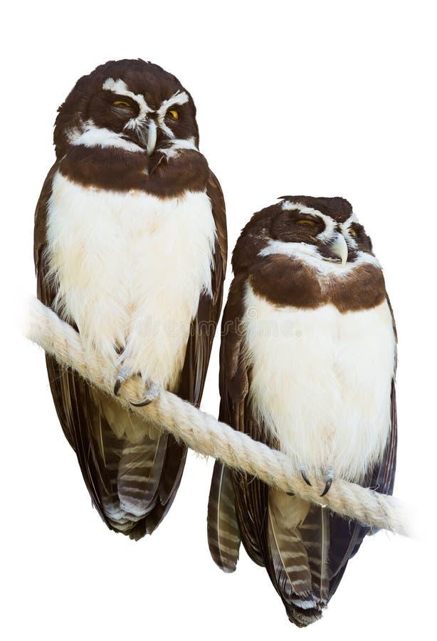 戴了眼镜猫头鹰夫妇  库存图片