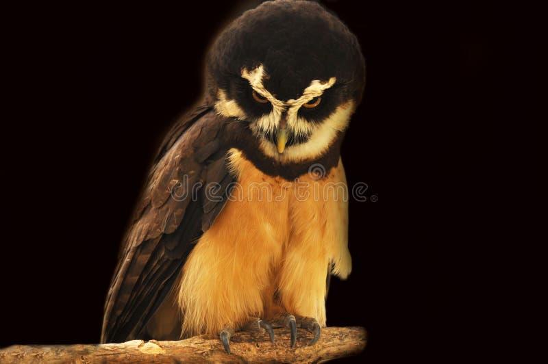 戴了眼镜猫头鹰 图库摄影