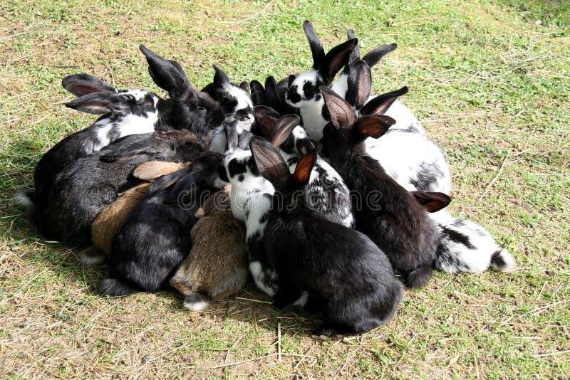 争取食物的一个小组饥饿的兔子 免版税库存图片