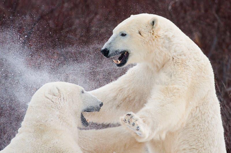 争吵口水和雪飞行的北极熊 免版税库存照片