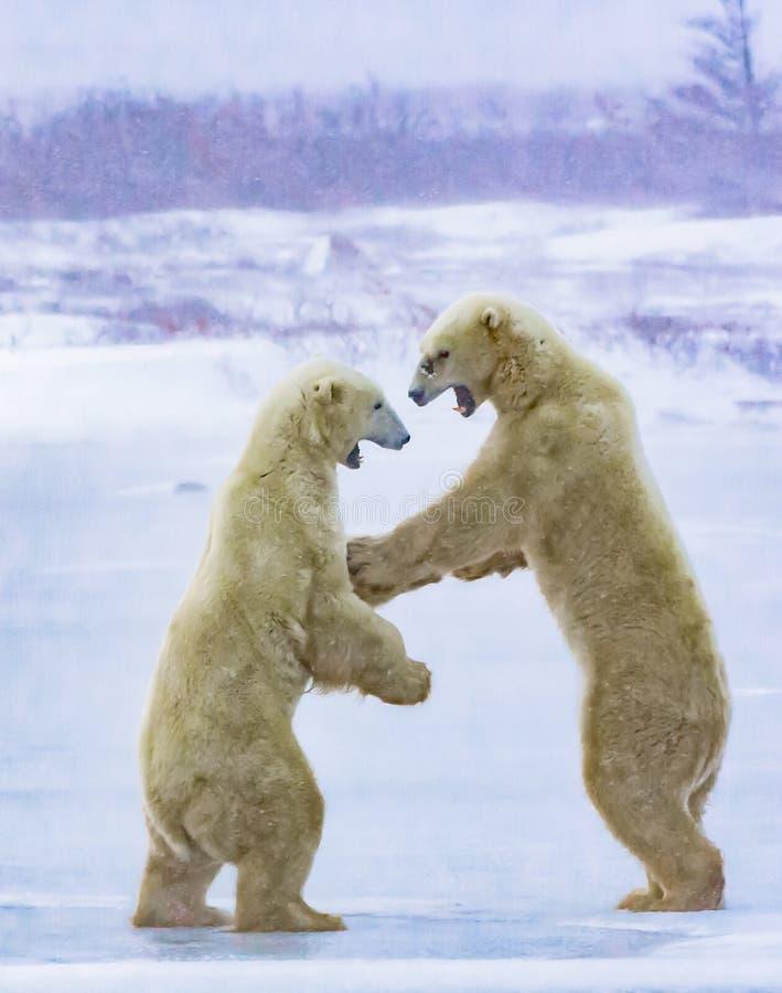 争吵在一场强的飞雪的北极熊 库存图片