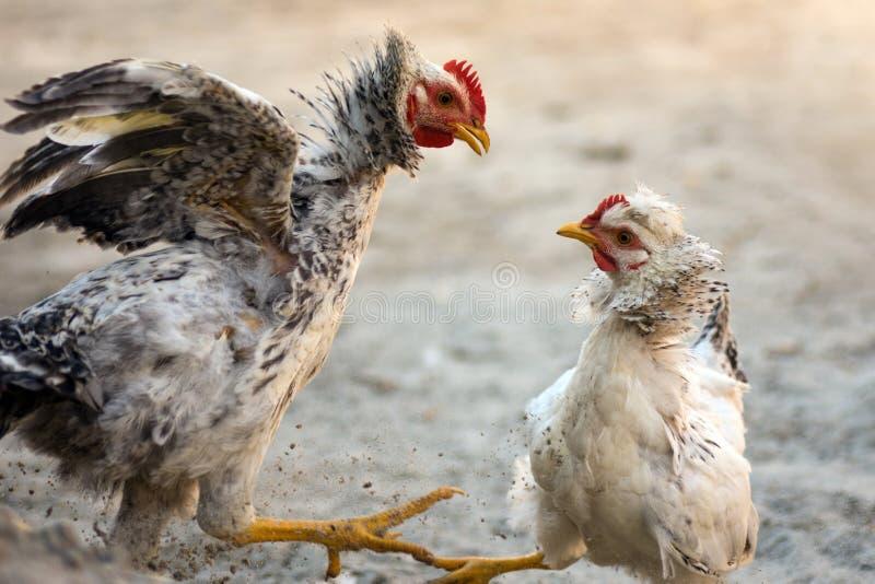 争吵的战斗的鸡 图库摄影