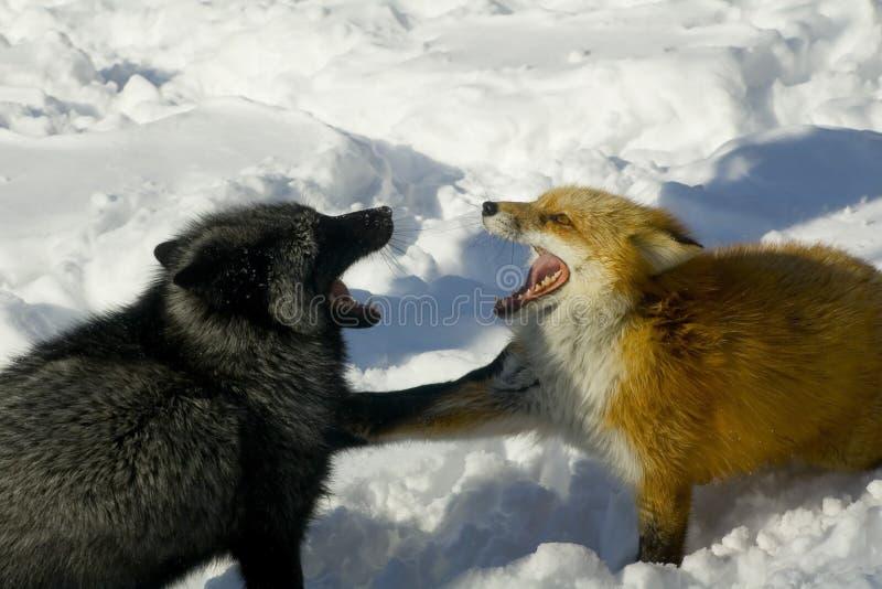 争吵的狐狸 图库摄影