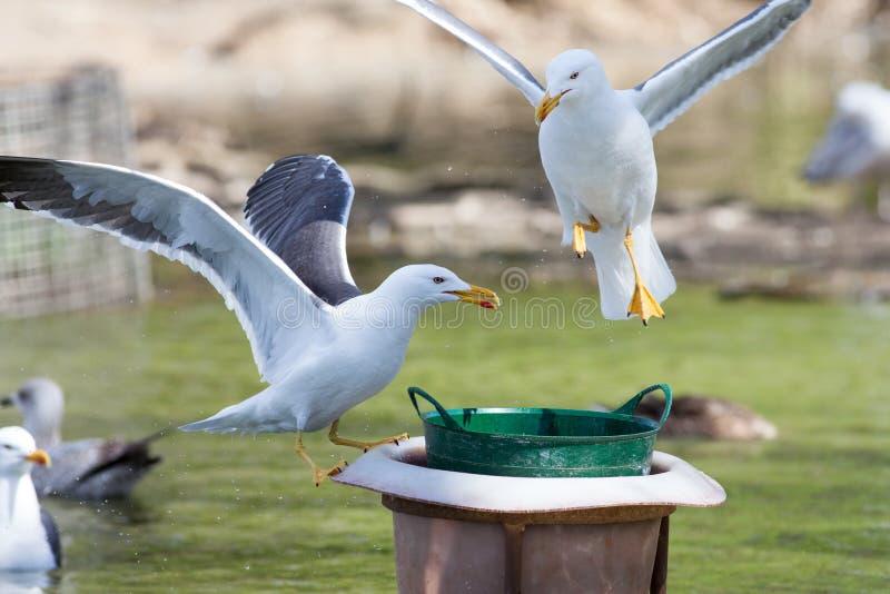 争夺食物的鸥 免版税图库摄影