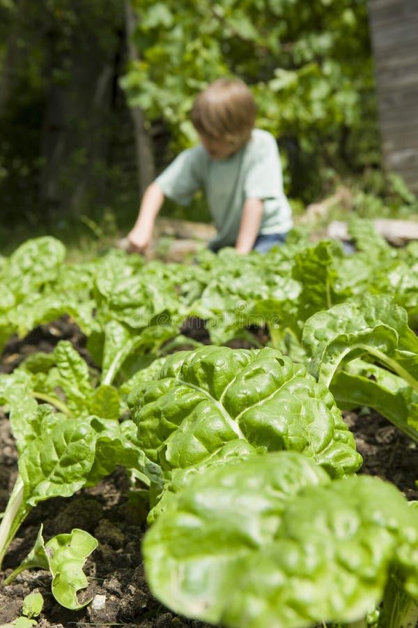 从事园艺与在庄稼的焦点的男孩 免版税库存照片