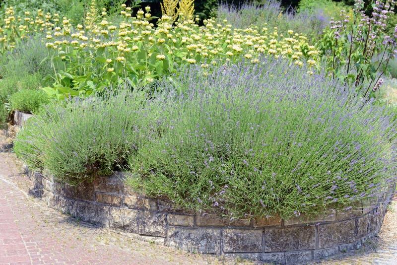 从事园艺与淡紫色熏衣草属angustifolia和Lampwick厂 免版税库存照片