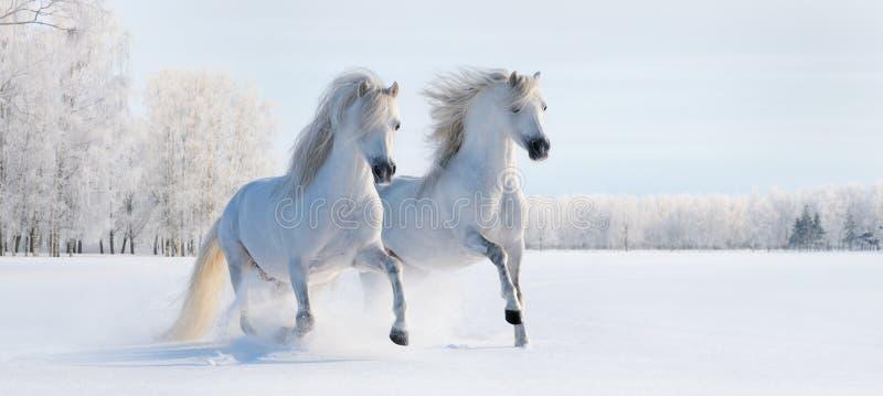 二个疾驰的空白小马 免版税图库摄影
