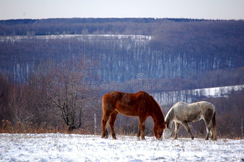 二匹马 免版税库存图片
