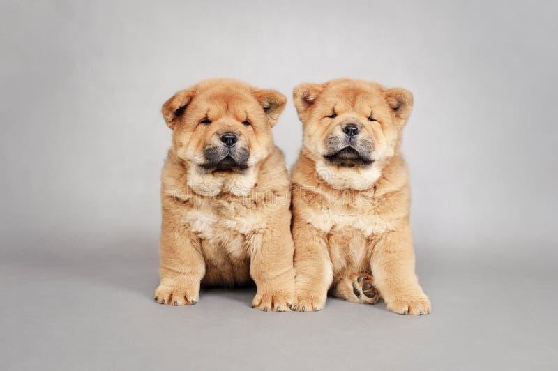 二只小的中国咸菜小狗纵向 图库摄影